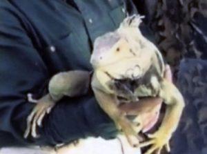 as2-iguana